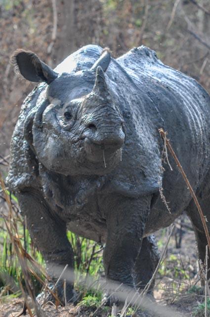 Rhinozeros acht Meter entfernt
